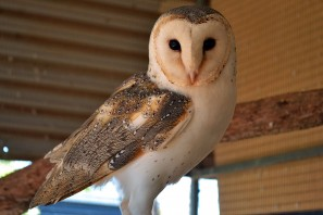 Jimmy the Barn Owl